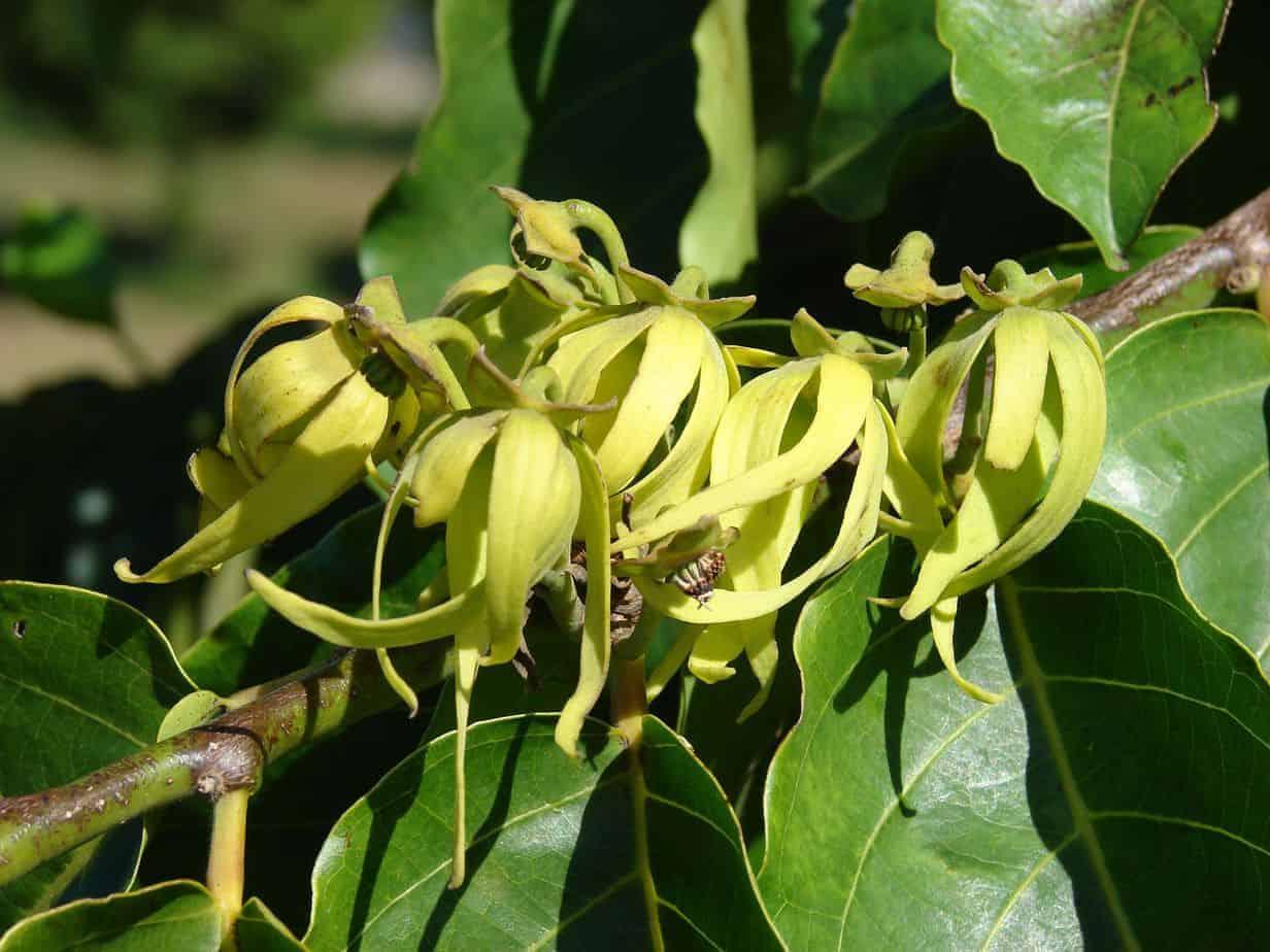 El ylang ylang es un aceite esencial inolvidable
