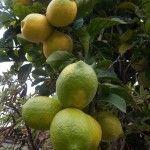 aceite esencial de limon propiedades