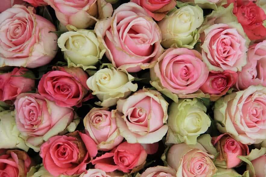 5 usos de la rosa damascena