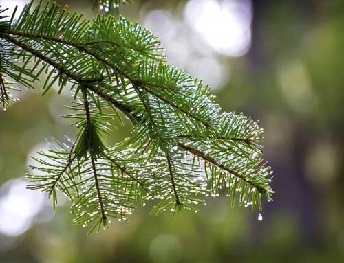Aceite de pino canadiense